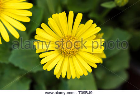 Doronicum orientale 'Leonardo Compact' (AKA Leopards Bane), a small yellow perennial plant blooming in Spring in West Sussex, UK. - Stock Photo