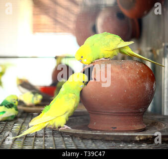 Pair of small colorful parrot Lovebirds - Stock Photo