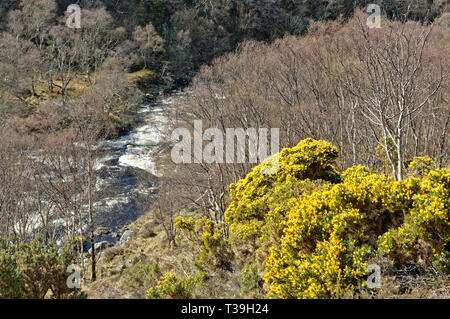 LOCHINVER SUTHERLAND SCOTLAND THE RIVER KIRKAIG IN SPRING WITH YELLOW GORSE FLOWERS ON THE BANKS - Stock Photo