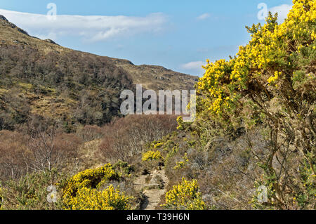 LOCHINVER SUTHERLAND SCOTLAND THE ROUTE AND PATHWAY TO SUILVEN WITH YELLOW GORSE FLOWERS IN SPRING - Stock Photo