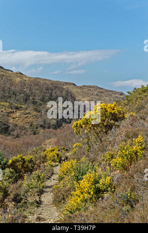 LOCHINVER SUTHERLAND SCOTLAND THE ROUTE AND PATHWAY TO SUILVEN WITH YELLOW GORSE FLOWERS IN SPRINGTIME - Stock Photo