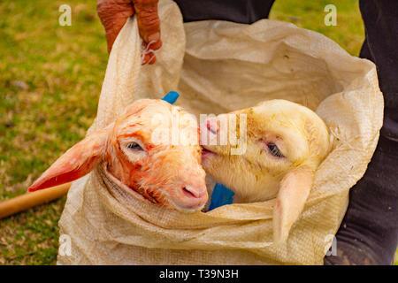 Newborn babys sheep - Stock Photo
