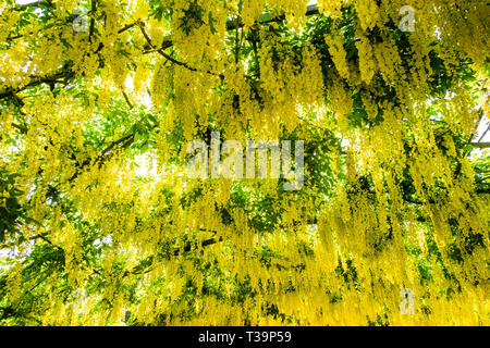 Laburnum flowers in full bloom, trained over an arch - Stock Photo