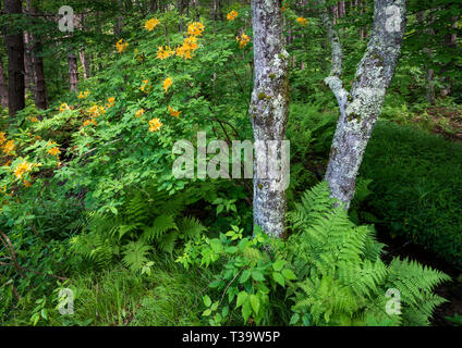 Ferns, lichen-covered trees, and orange azalea (Rhododendron austrinum) in forest in Monongahela National Forest in West Virginia. - Stock Photo