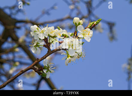Blossom of Sour cherry tree in spring against a blue sky - Stock Photo
