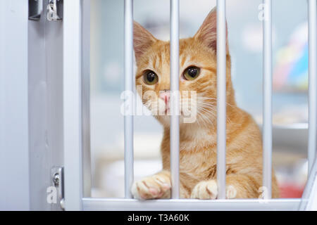A curious and friendly red tabby kitten or young cat is looking through the bars in a kennel in an animal shelter and waiting for his family - Stock Photo