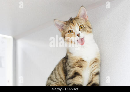 A young brown tabby cat with yellow eyes is yawing - Stock Photo