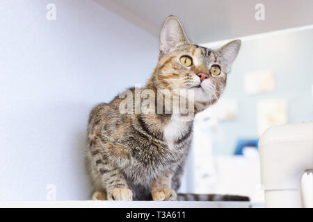 A curious and playful young brown tabby cat is sitting on a shelf by a window and looking up - Stock Photo