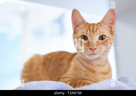 A young red tabby cat is sitting on a blue blanket by a window - Stock Photo