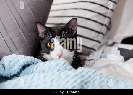 A black and white tuxedo cat is hiding on a bed between pillows and behind a blue blanket - Stock Photo