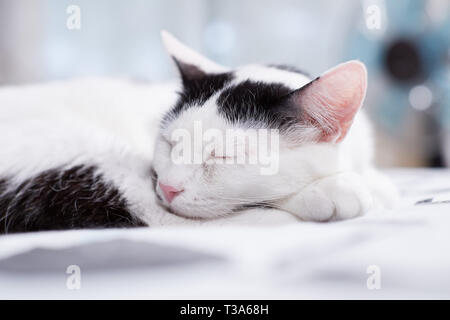 A white cat with black markings is sleeping on a bed and feels comfortable - Stock Photo