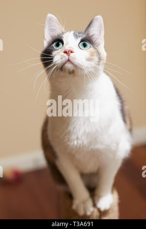 A young playful calico cat in a playful mood is looking up and watching something sitting on top of a scratching post - Stock Photo