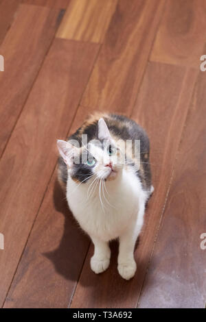 A young playful calico cat in a playful mood is sitting on brown hardwood floor at home and looking up and watching something - Stock Photo