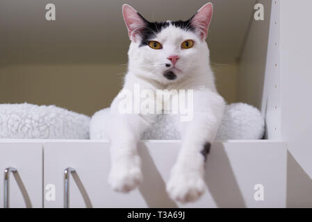 A white cat with black markings on his face and head is relaxing on a shelf in a book case - Stock Photo
