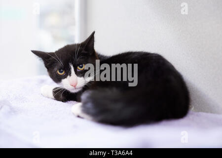 A scared black and white tuxedo kitten is sitting by a window and looking behind his shoulder Stock Photo
