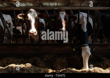 A group of cows are seen eating inside of the farm before going outside for the first time.  Farms throughout the Netherlands pick a date to let their cows out into the pastures and announce it to the public every year. Due to the cold climate in the Netherlands, the dairy cows are brought inside during winter months. When the temperature becomes warmer in Sprng, typically on a weekend in April, the barn doors are opened and the cows sprint out towards the green pastures. The public can watch the cows jumping for joy as they reach the green grass under their hooves. This is also known as the ' - Stock Photo