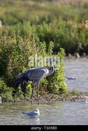 Common Crane, Grus grus, single adult standing at edge of lake,  Slimbridge, Gloucestershire, UK - Stock Photo