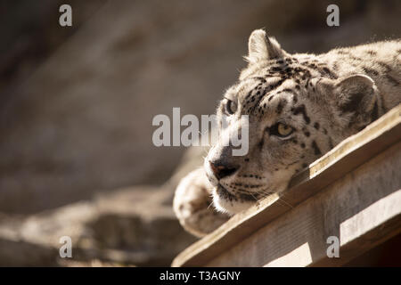 A female snow leopard (Panthera uncia) resting in the sun on a spring day. - Stock Photo