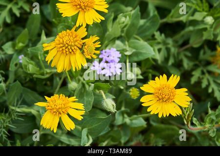 Beautiful patch of wild spring Yellow Sneezweed (Helenium amarum) intermixed with Butterfly Gaura (Oenothera lindheimeri) and Purple Prairie Verbena ( - Stock Photo