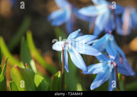 Beautiful Scilla siberica(Siberian squill or wood squill) first spring flowers . - Stock Photo