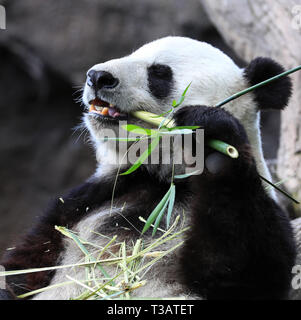 Beijing, USA. 6th Apr, 2019. Twenty-seven-year-old female giant panda Bai Yun eats bamboo in San Diego Zoo in San Diego, the United States, April 6, 2019. Female giant panda Bai Yun and her son, six-year-old Xiao Liwu, will leave the zoo in late April and be sent back to China, as the zoo's conservation loan agreement with China has ended. Credit: Li Ying/Xinhua/Alamy Live News - Stock Photo
