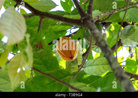 Yellow cocoa bean on the tree in island Bali, Indonesia, close up Stock Photo