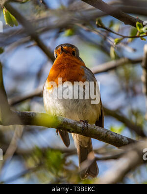 A robin, erithacus rubecula, sitting perched on a branch in a garden bush in Scotland - Stock Photo