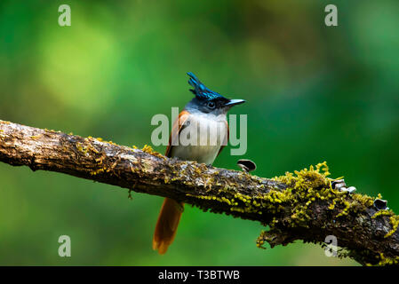 Asian paradise flycatcher, Terpsiphone paradisi, female, Western Ghats, India. - Stock Photo