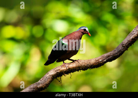 Common emerald dove, Chalcophaps indica, Western Ghats, India. - Stock Photo