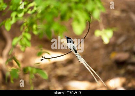 Paradise flycatcher, Terpsiphone paradisi, male, Ranthambore Tiger Reserve, Rajasthan, India. - Stock Photo