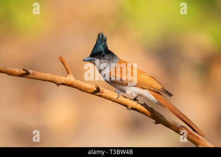 Asian paradise flycatcher, Terpsiphone paradisi, female, Pune, Maharashtra, India. - Stock Photo