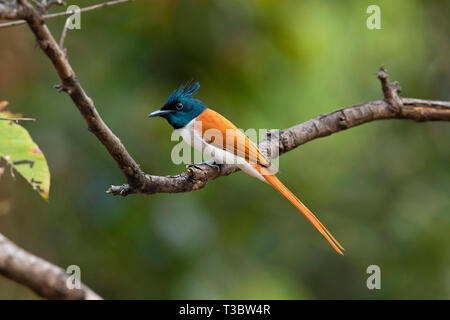 Asian paradise flycatcher, Terpsiphone paradisi, male, Pune, Maharashtra, India. - Stock Photo