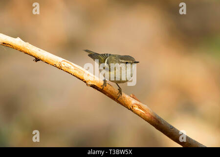 Hume's leaf warbler or Hume's warbler, Phylloscopus humei, Pune, Maharashtra, India. - Stock Photo