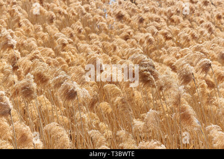 Dry reed on the lake. Golden reed grass in the sun. - Stock Photo