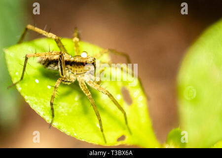 Small Jumping Garden Spider on green leaf, macro close shot - Stock Photo