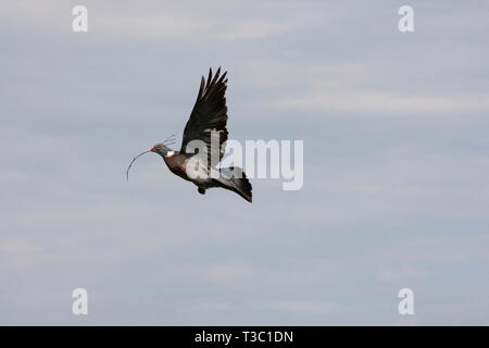 Flying dove with twig in the beak about to build a nest. Denmark - Stock Photo