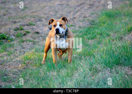 portrait scene of american staffordshire terrier - Stock Photo