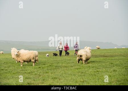 walking dogs through sheep - Stock Photo