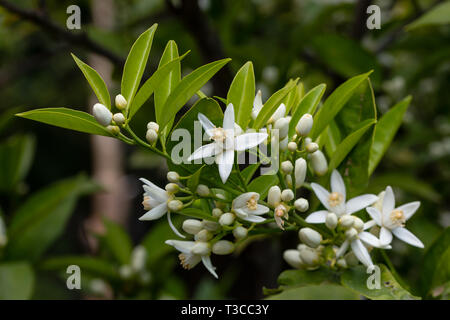 orange tree branch and blossoms. close up flower photo - Stock Photo