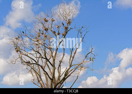Bare tree with a lots of nests of cormorants with chicks on a blue sky with oft fluffy clouds - Phalacrocoracidae - Stock Photo