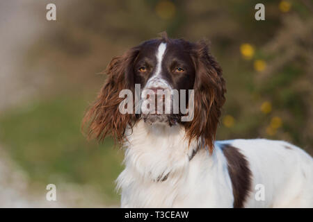 Portrait of a English Springer Spaniel  Dog-Canis lupus familiaris. - Stock Photo