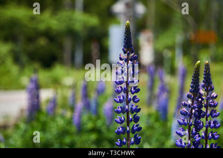 Tall, purple lupinus polyphyllus (large-leaved lupine, big-leaved lupine, many-leaved lupine) flowers growing in a garden in Yuzawa, Niigata, Japan. - Stock Photo