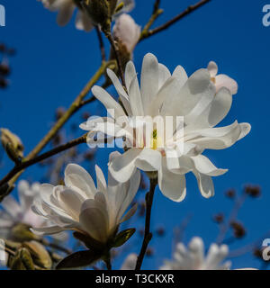 Magnolia is a large genus of about 210 flowering plant species in the family Magnoliaceae. It is named after French botanist Pierre Magnol. - Stock Photo