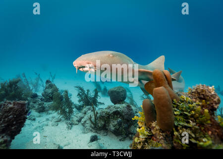 Closeup of brown nurse shark, Ginglymostoma cirratum,  swimming by Aplysina archeri, stove-pipe sponge, and  large vase, Dendrophylliidae Turbinaria,  - Stock Photo