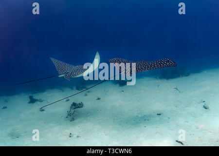 Two giant spotted eagle ray, Aetobatus narinari, swim side by side over reef - Stock Photo