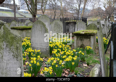 Daffodils blooming in February amongst gravestones in Bunhill Fields Cemetery on City Road in London EC1 England UK  KATHY DEWITT - Stock Photo