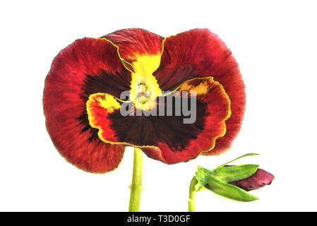 Three-tone violet or pansies - a grassy annual or biennial plant, common in Europe and temperate regions of Asia. - Stock Photo