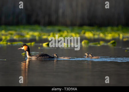 Colour wildlife portrait photograph of adult Great crested grebe (Podiceps cristatus) with three chicks following behind whilst swimming on water. Tak - Stock Photo