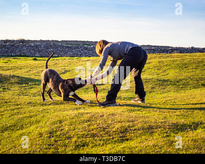 An adult woman playing with a young dog of the American staffordshire breed in countryside in springtime - Stock Photo