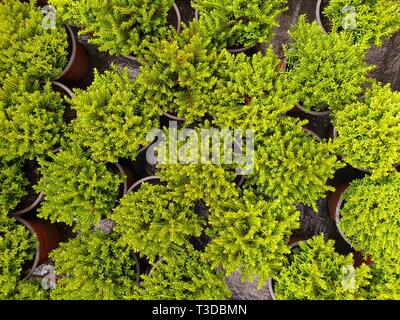 Top down view on image of little green cypresses in pots - Stock Photo